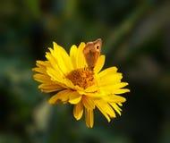 Buftalmo sul fiore fotografia stock