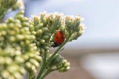 bug夫人 库存照片