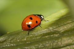 bug夫人 免版税库存照片