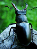 Bug. A standing bug which represent power on top of the nature Stock Photos