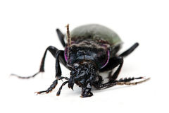 Bug Royalty Free Stock Photo