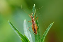 Bug. Damsel bug (Nabis limbatus) awaiting a prey on grass stock photography