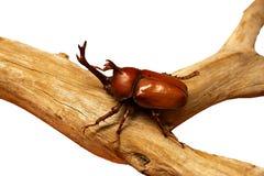 Bug. Big bug on a tree, isolated on white stock image