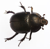 Bug. Big flying bug Royalty Free Stock Photo