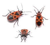 Bug Royalty Free Stock Image