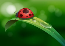 A bug above a long leaf with dews Stock Image