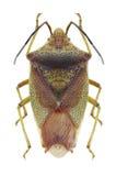 Bug Acanthosoma haemorrhoidale Stock Images