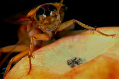 Bug on apple. A close up of a large insect or bug climbing on an apple in the foreground. Shallow depth of field with a dark background Royalty Free Stock Image