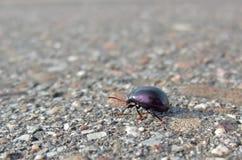 Bug backside while walking on pavement Stock Photo