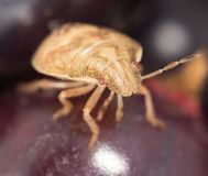 Bug on a berry. close Royalty Free Stock Photo