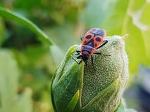 Bug on a bud Stock Photos