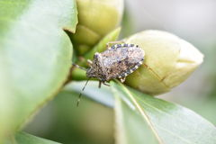 Bug on bud Royalty Free Stock Photo