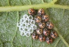 Bug Royalty Free Stock Image