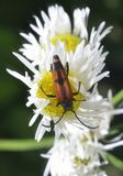 Bug on camomile Stock Images