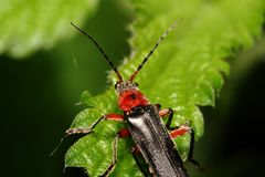 Bug (Cantharis fuscaon) tree sheet Stock Image