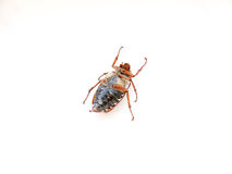 The bug chafer. Stock Image