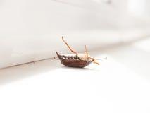 The bug chafer. Stock Photos