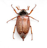 The bug chafer. The brown insect bug chafer Royalty Free Stock Photos