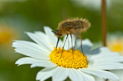 Bug and Chamomile Plant. Strange and cute bug on chamomile Stock Photography