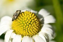 Bug on chamomile Stock Photography