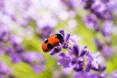 Bug (Clytra laeviuscula) on lavender. Royalty Free Stock Photography