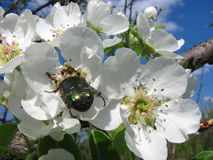 Bug cockchafer with ants on a blossoming flower in spring. Green may-bug cockchafer with ants on blossoming pear flower in spring royalty free stock photo