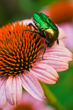 Bug on a coneflower Royalty Free Stock Photo