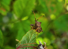 Bug, Coreus marginatus Royalty Free Stock Photo