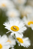 Bug on Daisy. A group of white daisies with a small depth of focus on the center flower that a bug has landed on Royalty Free Stock Image