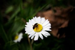 Bug on daisy Royalty Free Stock Images