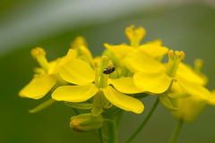 Bug dancing with flower Royalty Free Stock Photo