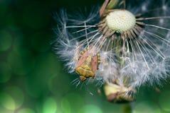 Bug on dandelion Royalty Free Stock Photo