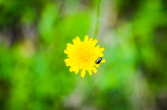 Bug on a dandelion flower Royalty Free Stock Image