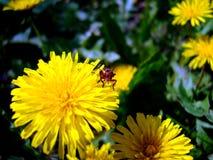 Bug. Dandelion. Royalty Free Stock Images