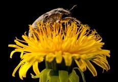 Bug on dandelion Royalty Free Stock Images