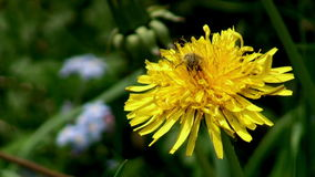 Bug on a dandelion. Bug on a yellow dandelion stock footage