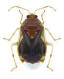 Bug Deraeocoris lutescens Stock Photos