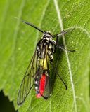 Bug Diptera black, yellow and red extreme close up photo. Photo of Bug Diptera black, yellow and red extreme close up photo royalty free stock photo