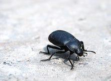 Bug, Dor Royalty Free Stock Photography