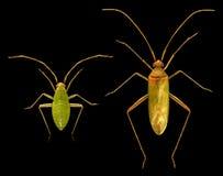 bug Dorosły i boginka fotografia royalty free