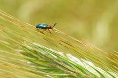 Bug on the ear on a field Royalty Free Stock Photos