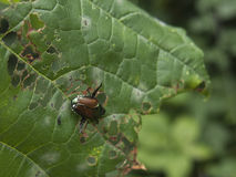 Bug eating on green leaf. Colorful bug eating on green leaf Royalty Free Stock Photo