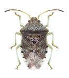 Bug Elasmucha grisea Stock Image
