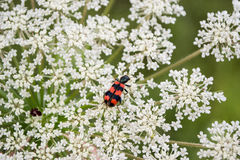 Bug enjoys flower close up. Small garden red bug enjoys white flower close up stock photo