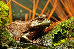 Bug Eyed Bull Frog Royalty Free Stock Images