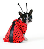 BUG eyes. A boston terrier dressed in a ladybug costume Royalty Free Stock Photography