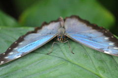 Bug eyes. Look into the eyes of a butterfly that has found a leaf its temporary home Royalty Free Stock Photo