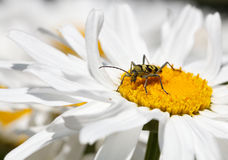 Bug feeds on flower Stock Image