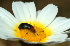 Bug in the flower. Bug and flower Royalty Free Stock Photography