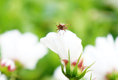 Bug on a flower. Brown bug sitting on a white flower Royalty Free Stock Photography